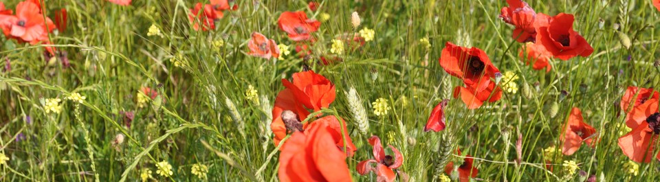 slide 9 poppies