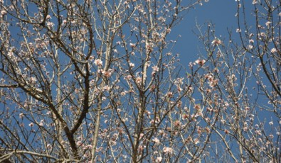 Flowers of almond trees